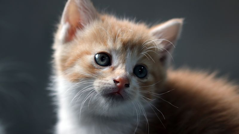 Cat, Kitten, Pet, Domestic Animals, Cute Cat, Portrait, Fur, Baby cat, 5K, Wallpaper