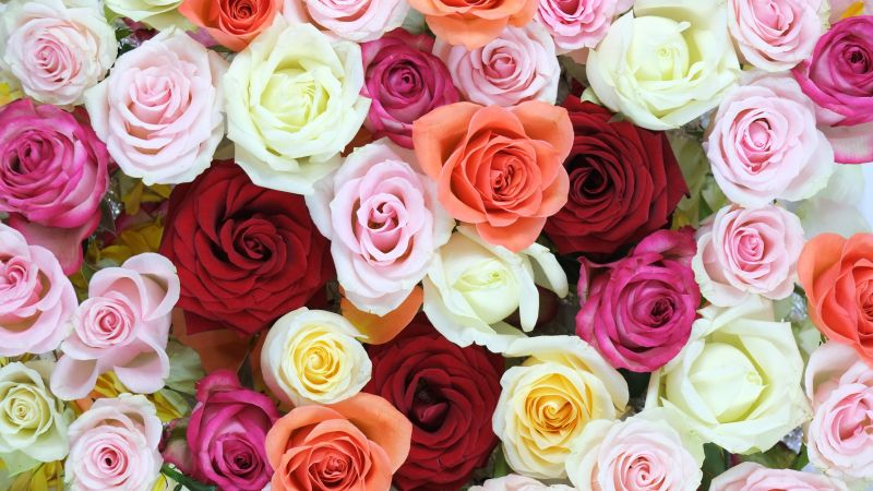 Rose flowers, Multi color, Colorful, Floral Background, Blossom, Beautiful, 5K, Wallpaper
