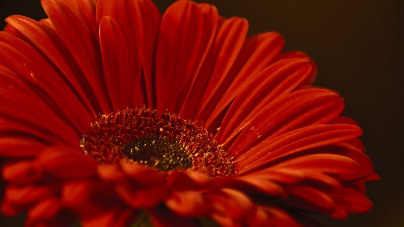Gerbera Daisy, Red flower, Closeup, Macro, Dark background, Petals, Blossom, Bloom, Spring, 5K, Wallpaper