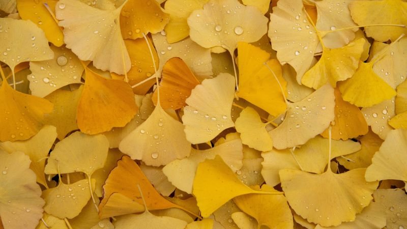 Ginkgo Leaves, Yellow leaves, Autumn, Foliage, Dew Drops, Water drops, Leaf Background, Aesthetic, 5K, Wallpaper