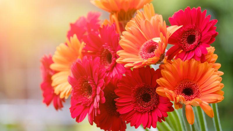 Gerbera Daisy, Red flowers, Orange flowers, Blossom, Spring, Bokeh, Blurred, Sunshine, Colorful, Floral, 5K, Wallpaper