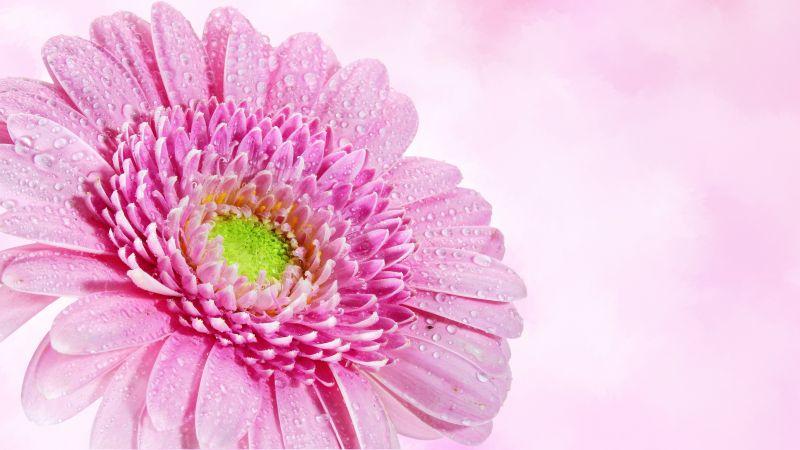 Gerbera Daisy, Pink flower, Water drops, Dew Drops, Closeup, Macro, Pink background, Blossom, Bloom, Spring, 5K, Wallpaper