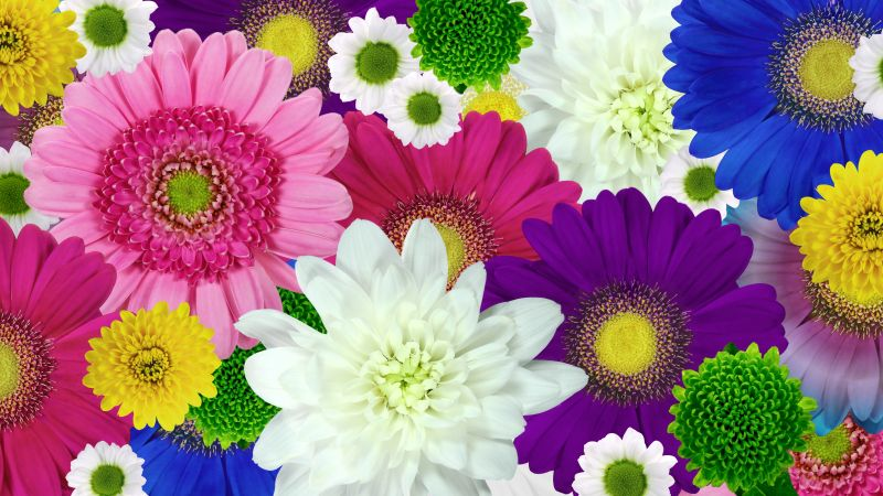 Colorful flowers, Daisies, Chrysanthemum flowers, Floral Background, Multicolor, Blossom, Bloom, 5K, Wallpaper