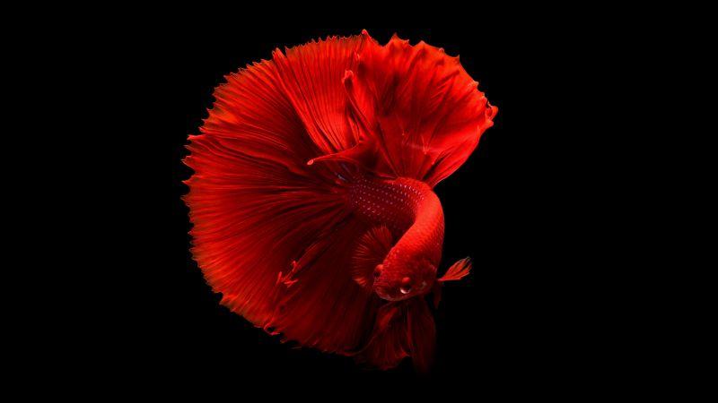 Red fish, Underwater, Swimming, Black background, 5K, Wallpaper