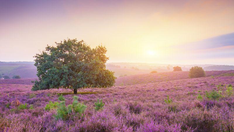 Spring, Sunrise, Landscape, Purple heath, Countryside, Wallpaper