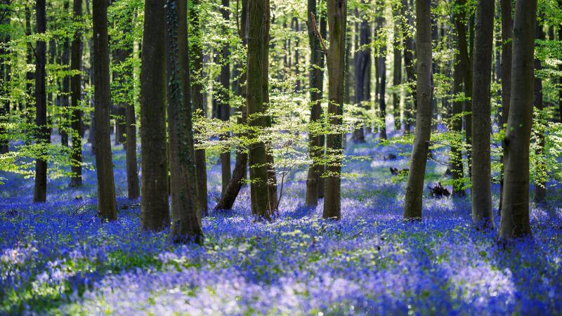 Forest, Trees, Woods, Green leaves, Purple Flowers, 5K, Wallpaper