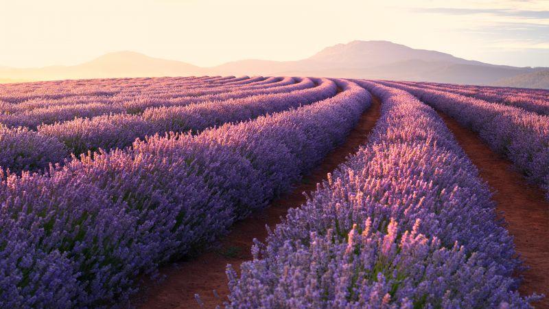 Lavender Fields, Lavender flowers, Sunrise, Mountains, Pattern, Landscape, Flower garden, Purple Flowers, Wallpaper