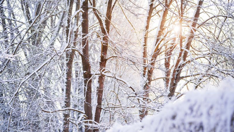 Snow covered, Forest, Tree Branches, Winter, White, Sunlight, Wallpaper