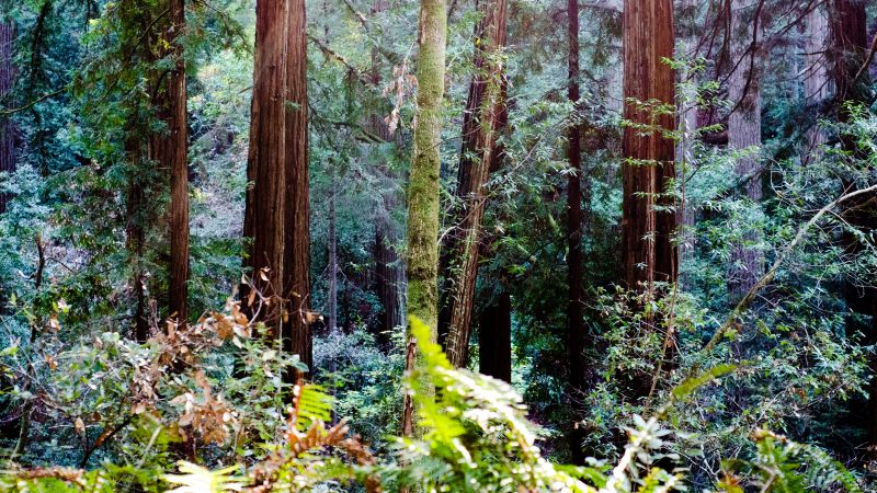 Muir Woods, California, Redwood trees, Forest, Tall Trees, Woods, Landscape, Wallpaper