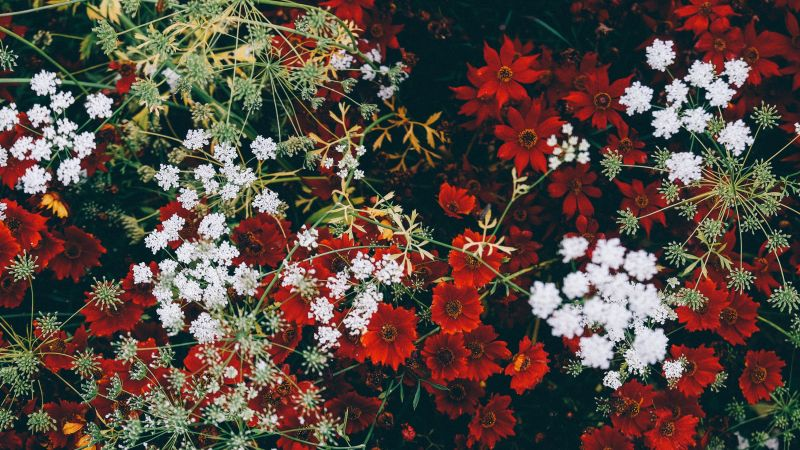 Red flowers, White flowers, Blossom, Floral, Closeup, Flower garden, Aesthetic, Wallpaper