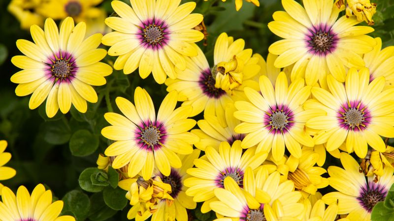 Daisies, Yellow Flowers, Floral Background, Blossom, Bloom, Spring, Closeup, 5K, Wallpaper