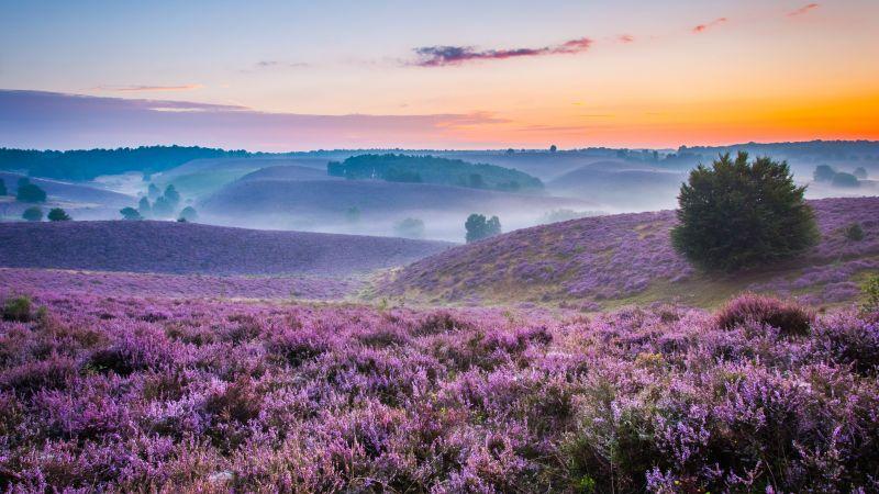 Lavender farm, Purple, Landscape, Foggy, Sunset Orange, Beautiful, Horizon, Wallpaper