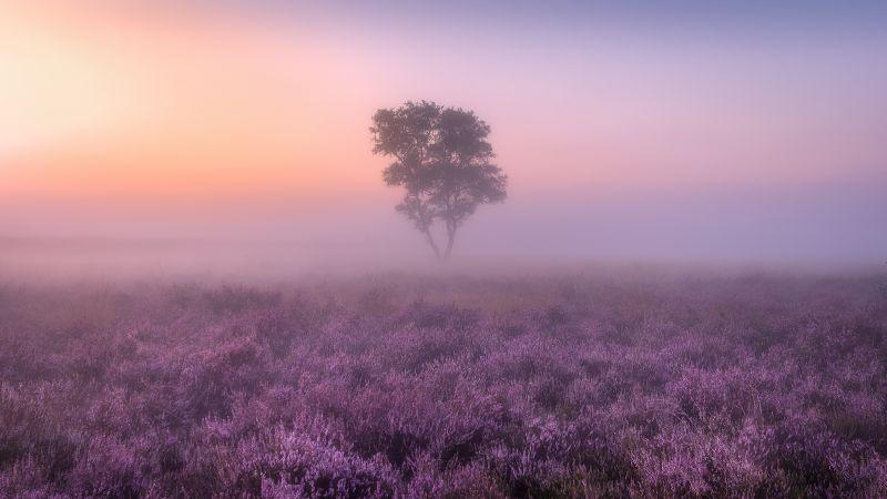 Lavender Fields, Purple, Foggy, Landscape, Tree, Sunrise, Aesthetic, 5K, Wallpaper