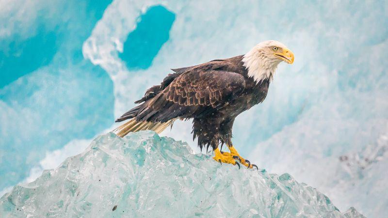 Eagle, Iceberg, Birds of Prey, Raptors, Carnivorous bird, Winter, Closeup, Wallpaper