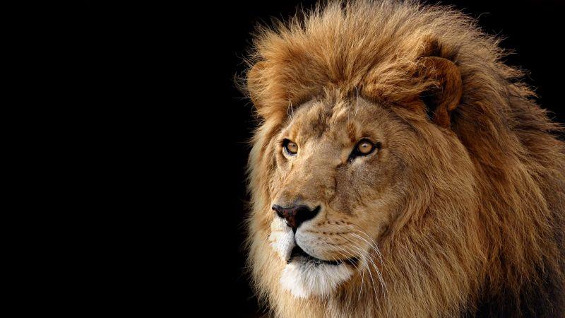 Mac OS X Lion, Lion, Black background, Stock, Wallpaper