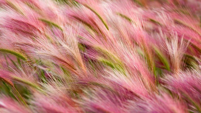 Foxtail Barley, Aesthetic, OS X Mavericks, Pink, Landscape, Girly backgrounds, Stock, 5K, Wallpaper