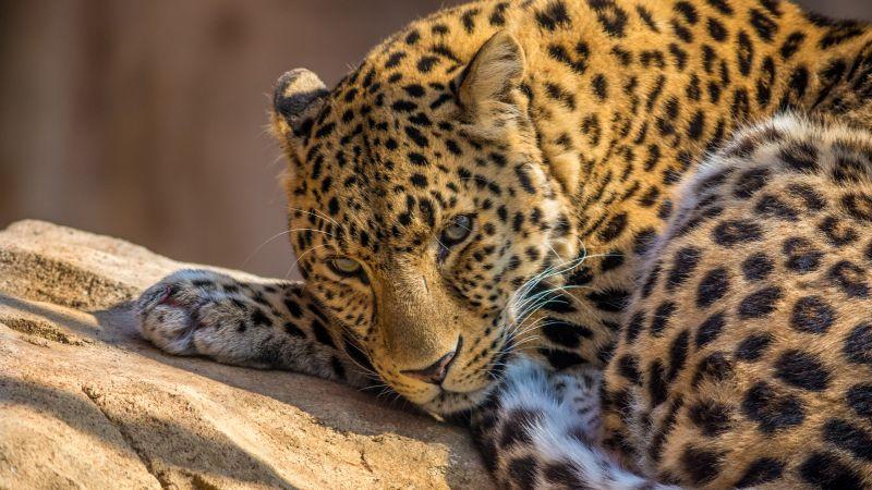 Leopard, Wild animal, Carnivore, Predator, Closeup, Face, Big cat, Staring, 5K, Wallpaper