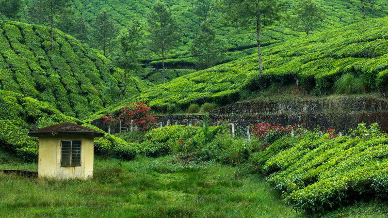 Tea Estate, Hill Station, Greenery, Western Ghats, Pattern, Plantation, Landscape, Scenery, Wallpaper