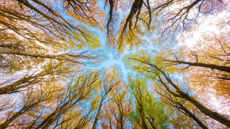 Tree Canopy, Branches, Looking up at Sky, Forest, Foliage, Autumn, 5K, Wallpaper