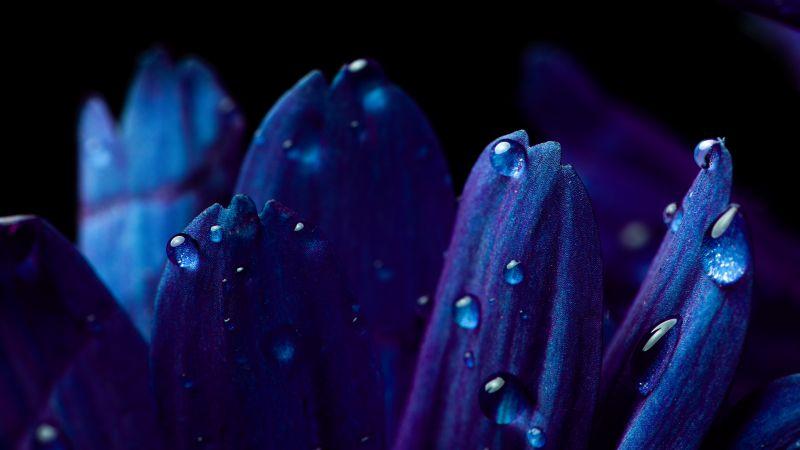 Blue flower, Petals, Macro, Vivid, Close up, Dew Drops, Dark, Droplets, Wallpaper