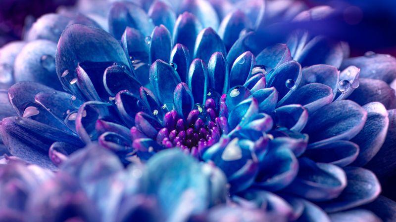 Blue flower, Macro, Vivid, Close up, Dew Drops, Droplets, Aesthetic, Wallpaper