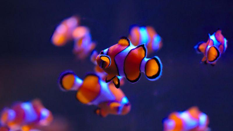 Clownfish, Aquarium, Underwater, Wallpaper
