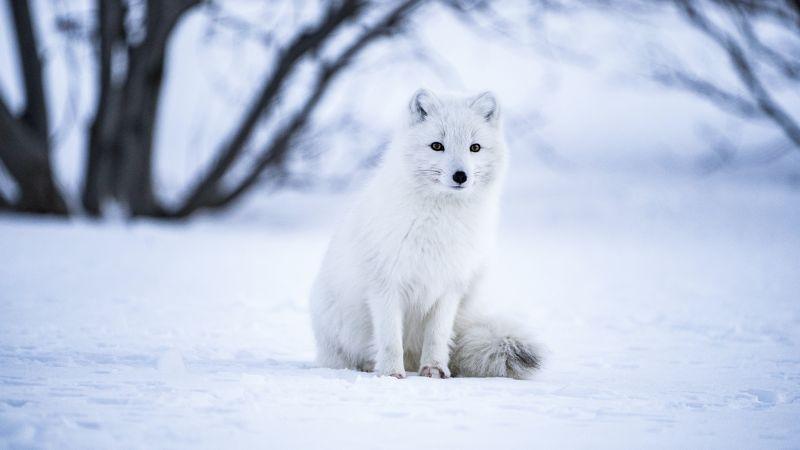 Arctic fox, White wolf, Iceland, Snow field, Selective Focus, Mammal, Wildlife, Wallpaper