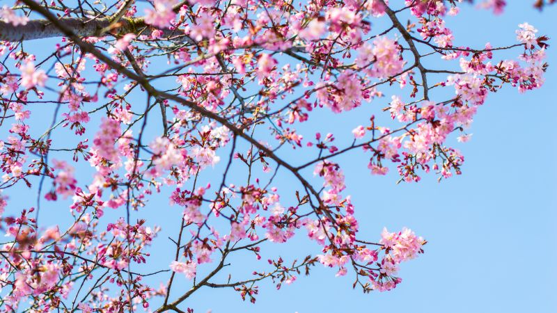 Cherry blossom, Pink flowers, Blue Sky, Clear sky, Spring, Tree Branches, 5K, Wallpaper