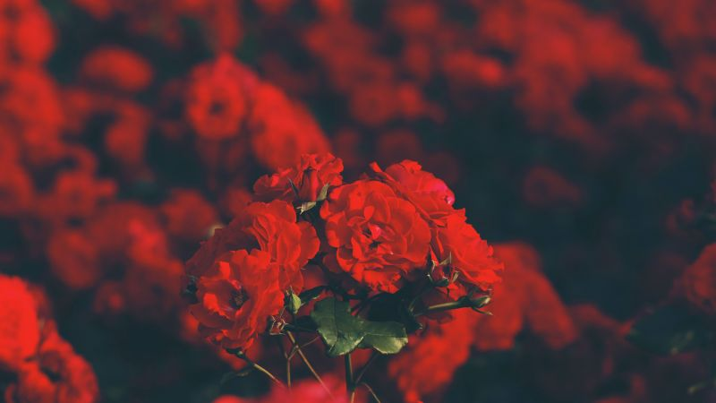 Red Flowers, Floral, Blur background, Flower Garden, Blossom, Bokeh, Bloom, Selective Focus, 5K, Wallpaper