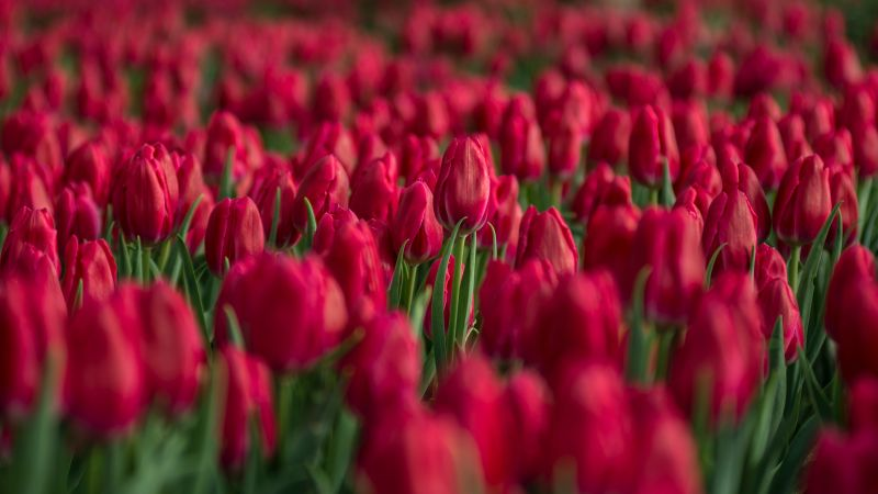Red Tulips, Tulips field, Close up, Blossom, Bloom, Spring, Colorful, Floral Background, Bokeh, Selective Focus, 5K, Wallpaper