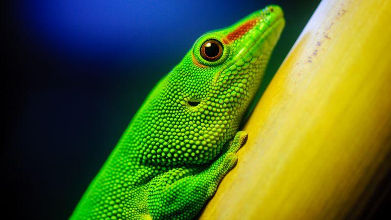 Green Lizard, Closeup, Macro, Reptile, Vivid, HDR, Wallpaper