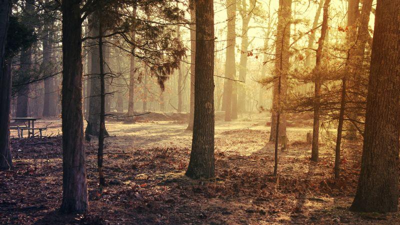 Forest Trees, Sunrise, Woods, Fallen Leaves, Sun light, Early Morning, Wallpaper