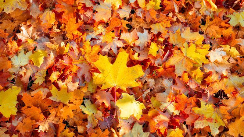 Maple leaves, Autumn leaves, Fallen Leaves, Leaf Background, Seasons, Texture, Foliage, Colorful, 5K, Wallpaper