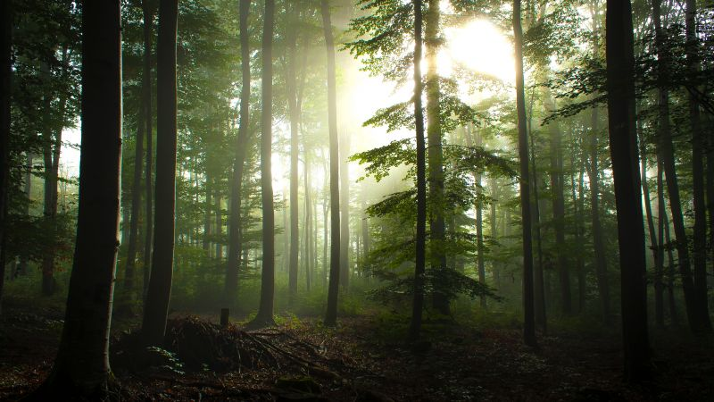 Forest Trees, Early Morning, Foggy, Sunrise, Woods, Landscape, Wallpaper