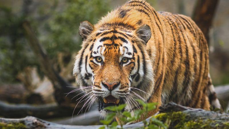 Bengal Tiger, Big cat, Predator, Wild animal, Wallpaper