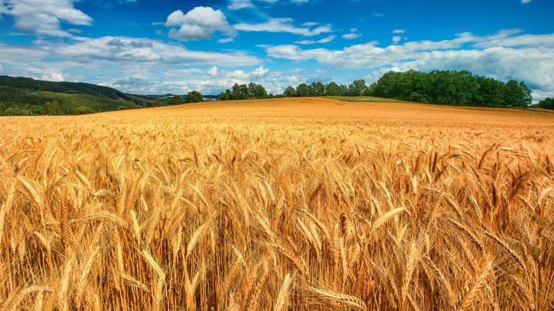 Golden fields, Crop, Landscape, Blue Sky, White Clouds, Wheat field, Scenery, Wallpaper