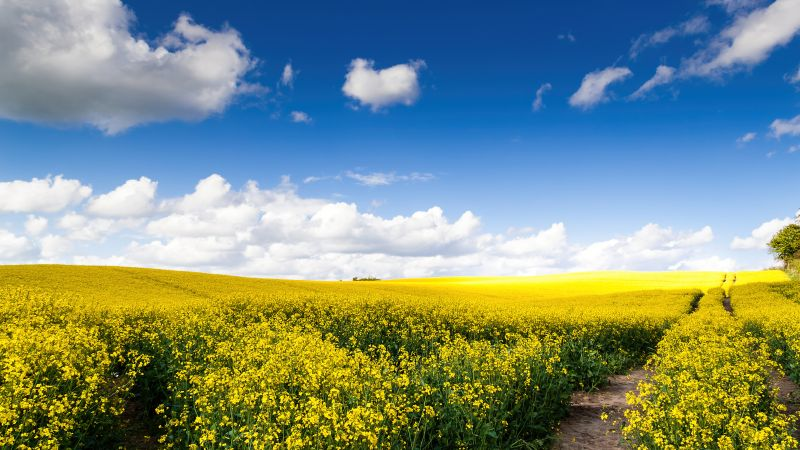 Rape fields, Yellow flowers, Landscape, White Clouds, Blue Sky, Beautiful, Scenery, Sunny day, Rapeseed fields, Germany, Wallpaper