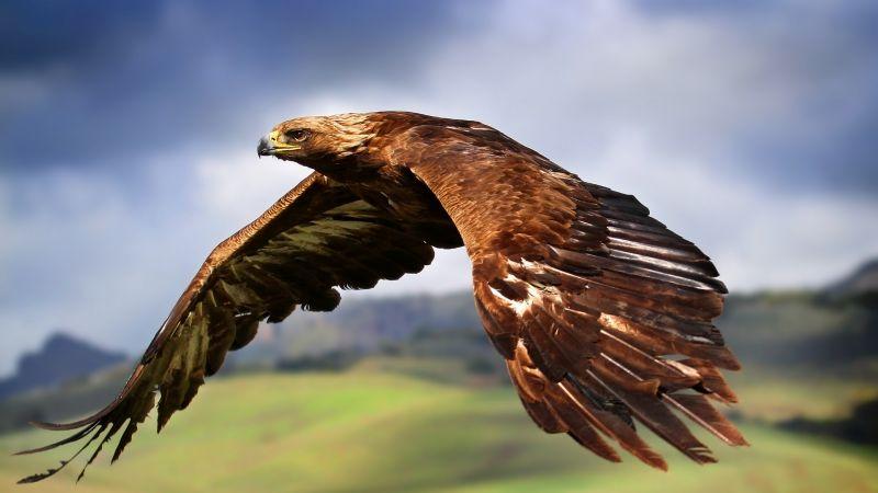 Raptor, Birds of Prey, Carnivorous birds, Flying, Mid Air, Blur background, Wallpaper