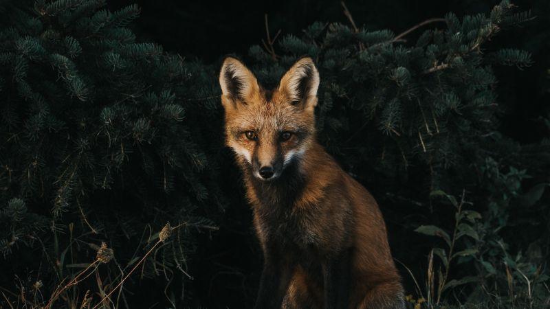 Brown Fox, Green Grass, Dark background, Canine, Wildlife, Forest, Wallpaper