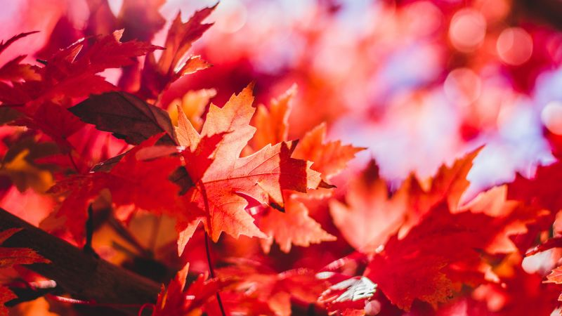 Maple leaves, Red leaves, Selective Focus, Autumn, Blur background, Closeup, 5K, Wallpaper