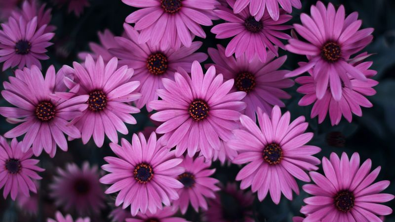 Pink Daisies, Spring, Blossom, Bloom, Closeup, Floral Background, Beautiful, 5K, Wallpaper