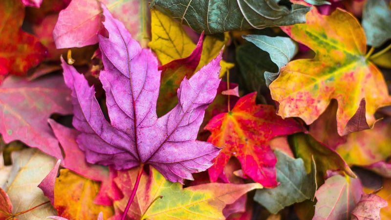 Maple leaves, Purple leaf, Leaf Background, Fallen Leaves, Texture, Autumn leaves, Seasons, 5K, Wallpaper