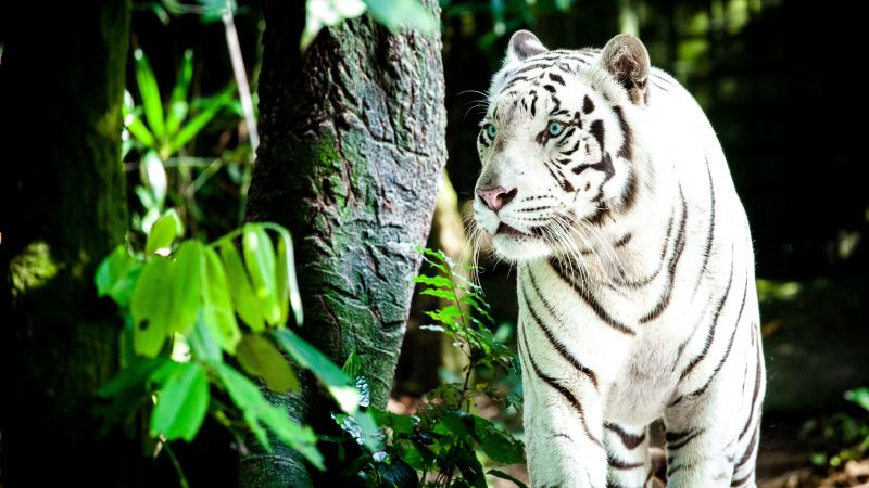 White tiger, Bengal Tiger, Forest, Daytime, Big cat, Wallpaper
