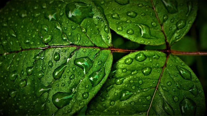 Green leaves, Wet, Rain drops, Water drops, Closeup, Macro, Greenery, Pattern, High Dynamic Range, Fresh, HDR, 5K, Wallpaper