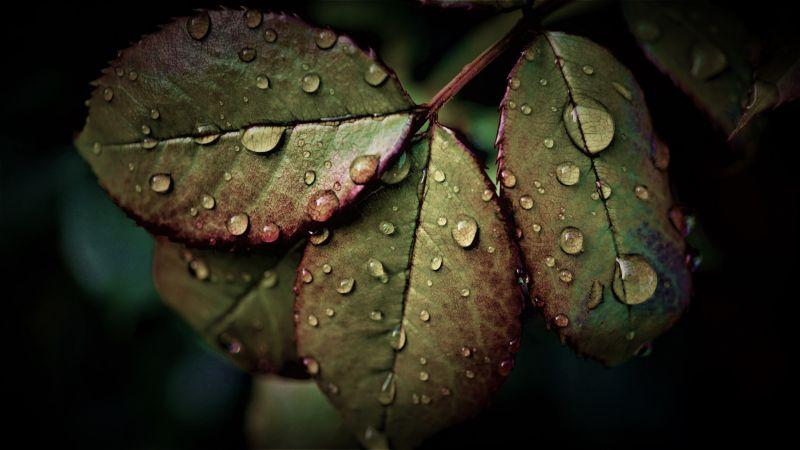 Wet Leaves, Rainy Weather, Water drops, Closeup, macro, Rain drops, HDR, Pattern, 5K, Wallpaper