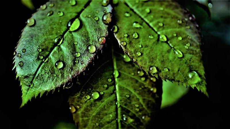 Green leaves, Pattern, Water drops, Dew Drops, Closeup, Macro, Fresh, Wet Leaves, Greenery, Dark background, 5K, Wallpaper
