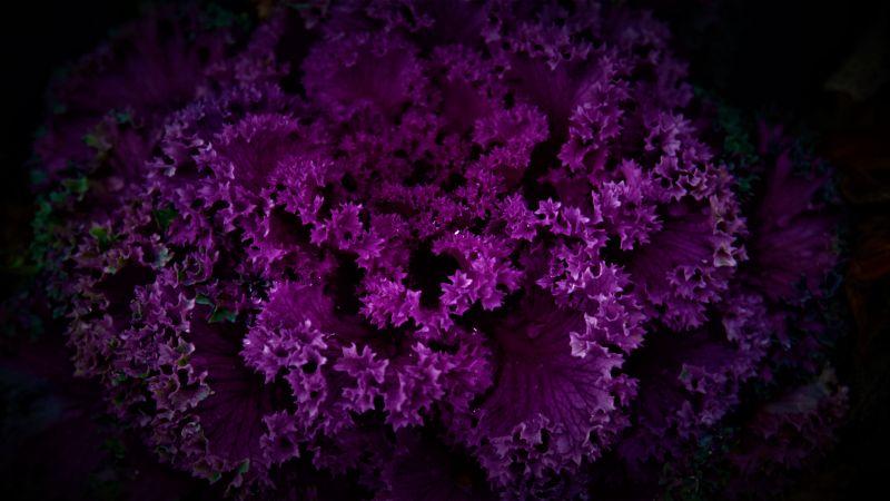 Purple Plant, Dark background, Pattern, Beautiful, Floral, Purple Flowers, 5K, Wallpaper