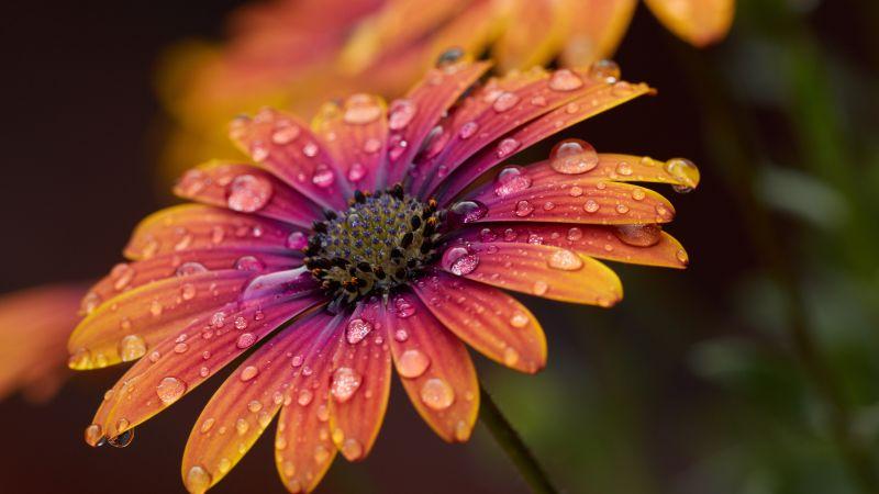 Orange Daisy, Closeup, macro, Dew Drops, Selective Focus, Bokeh, Blur background, Vibrant, Blossom, Bloom, Spring, Wet, 5K, Wallpaper