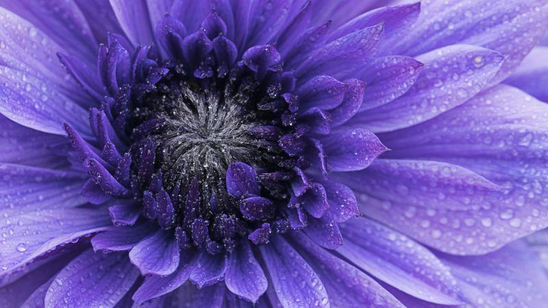 Violet flowers, Closeup, macro, Water drops, Dew Drops, Blossom, Bloom, Spring, Flora, petals, 5K, Wallpaper