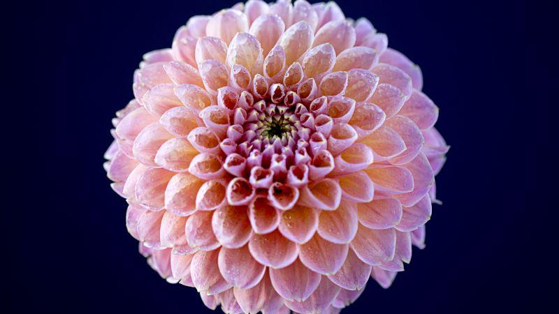 Chrysanthemum flowers, Pink flower, Dark background, Closeup, Macro, Blossom, Bloom, Spring, Dew Drops, Pattern, Flora, 5K, Wallpaper